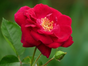 rose-flower-8